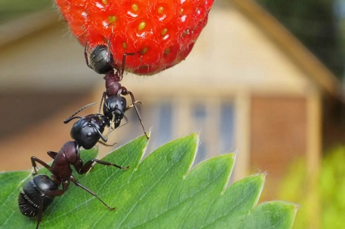 Народные и профессиональные средства от муравьев в огороде